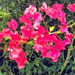 大寒に花が咲き実をつけている(y/satoさんの石垣島だより)