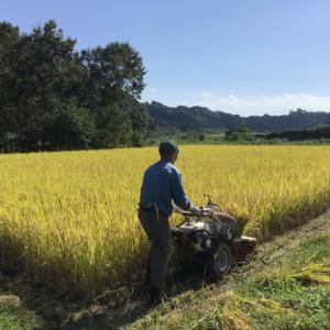 無農薬の玄米と黒ささげ豆の収穫しました