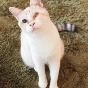 シャムMixの女の子2(駒沢・駒猫)