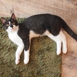 コアラ鼻の黒白猫2(駒沢・駒猫)