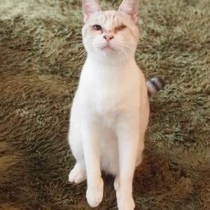 シャムMixの女の子3(駒沢・駒猫)