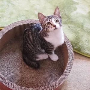キジ白の仔猫ちゃん(向島・CATS&DOGS CAFE)