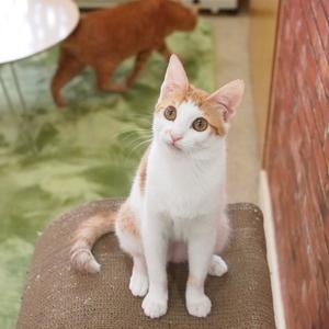 茶白の仔猫ちゃん5(向島・CATS&DOGS CAFE)
