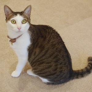 キジ白の女の子(都立大学駅・CAT LIVING)