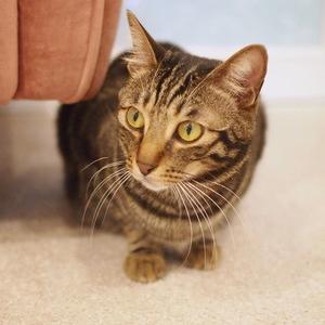 キジトラ猫モッチー2(都立大学駅・CAT LIVING)