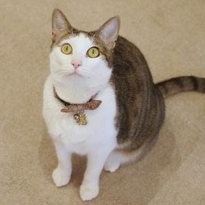キジ白の女の子2(都立大学駅・CAT LIVING)