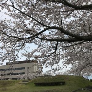 レンゲの花が咲いていました