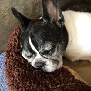 顔に寝癖が付く犬