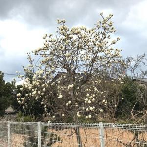 ハクモクレンが咲いていた
