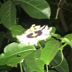 庭の果樹の枝に、リスの巣が発見される。