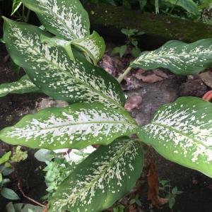 南の島の雑草がトロピカルな観葉植物な件