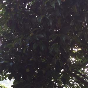 庭のマンゴスチンの実が大きくなってきた