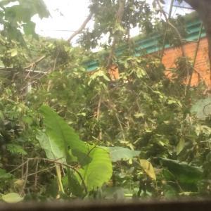 南の島の雨季の晴れ間に木こりが現れた!
