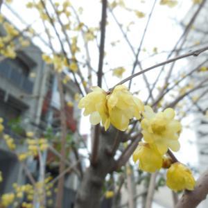 ようやくの思いで蝋梅の花