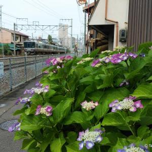梅雨入りしたら、やはりこの花