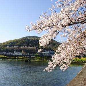 河口の一本桜に