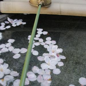 手水場に落ちた桜の花びらに