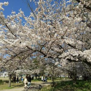 桜散歩@亀城公園