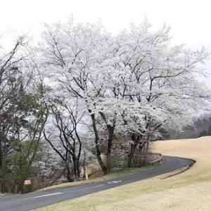 ゴルフコースの桜と変態
