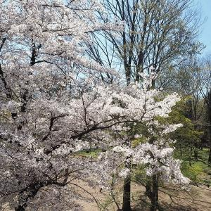 桜と緑色が映えるようになった井の頭公園です その1