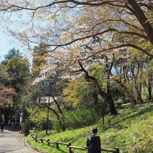 桜と緑色が映えるようになった井の頭公園です その2