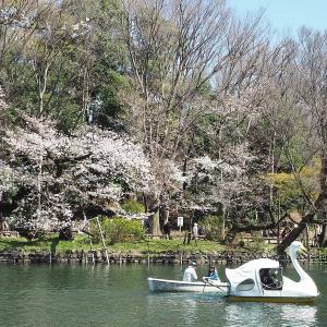 桜と緑色が映えるようになった井の頭公園です その4