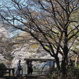 桜と緑色が映えるようになった井の頭公園です その5