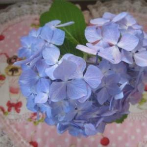 紫陽花さん~ありがとう~🎶