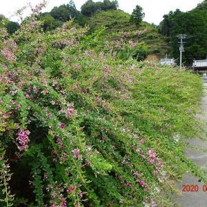 高松最明寺の萩の花