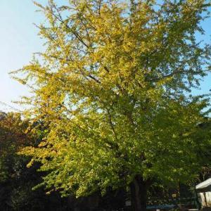 旧多和小学校のイチョウと、大窪寺の紅葉