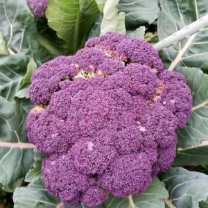 自転車の話やら、常備菜やら、紫色のブロッコリーやら、もろもろ