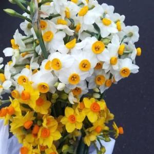 今週の花は、スイセン