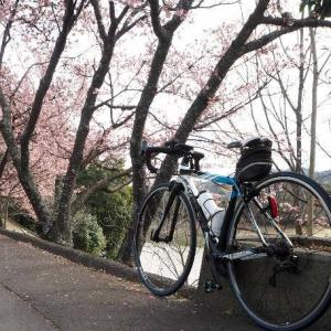 丸亀市:福成寺の寒桜、満開!!