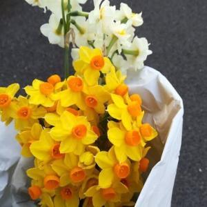 今週の花は、黄色いスイセン