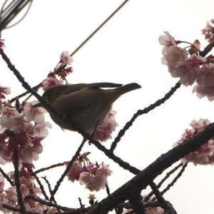 さぶかった!!福成寺の寒桜と、香川県総合園芸センターのしだれ梅