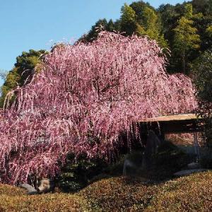 南あわじ市:八木のしだれ梅へ