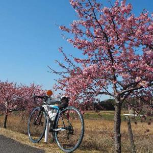 東かがわ市:湊川の河津桜を見ながら、まろたんとお花見~♪