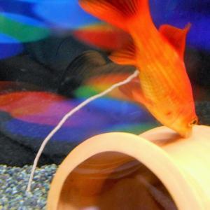 金魚のうんち