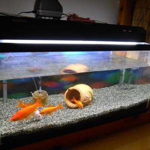 金魚飼育(9年目の和金さん)