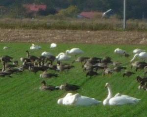 千歳市内の野鳥(2020/10/22)シジュウカラガンの群れ