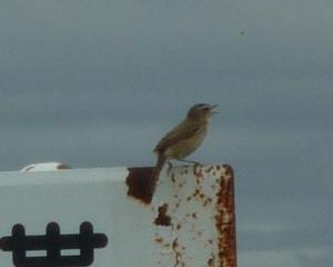 千歳市内の野鳥(2021/06/20)人工物の上にコヨシキリ