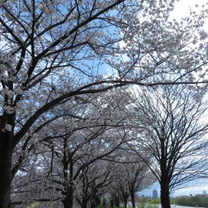 桂川で、桜散歩