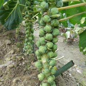 畑の芽キャベツ
