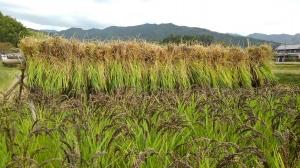 緑米の稲刈り~明日香村~