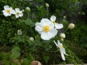 シュウメイギクが咲きました