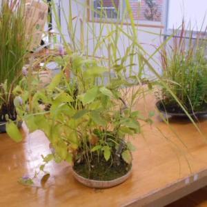会員の作品鑑賞と草もの盆栽の作品づくり  10月例会
