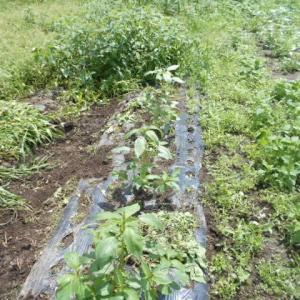 草むしり モロヘイヤが雑草に埋もれている
