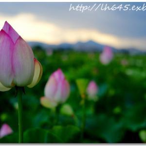 藤原宮跡の蓮畑と、梅雨明けの向日葵群生