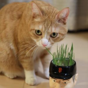 監督マグの猫草。
