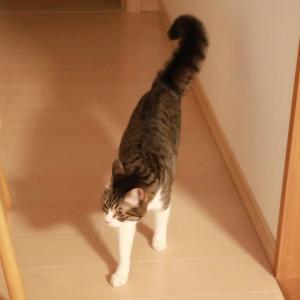ぼわっとふくらむ猫シッポ。